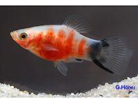Tropical Fish - Tiger Platy