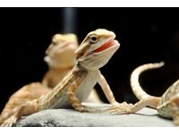 Baby bearded dragons vivariums also available