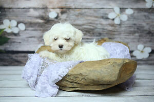 **HAVANESE - Gorgeous Nonshed, Hypoallergenic family Pets**