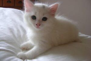 Looking for: 8 Week - Year Old Kitten