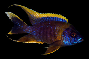 Looking for Malawi African cichlids