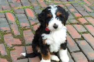 Looking for Bernedoodle Puppy!