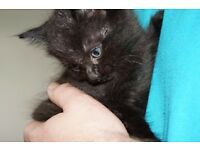 Maine Coon X Kittens Ready Now