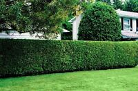 Professional hedge Trimming Special! Cheapest in town garauntee