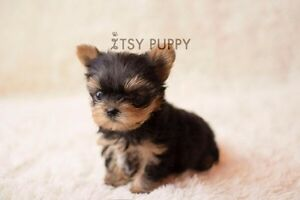 ISO micro teacup Yorkie puppy