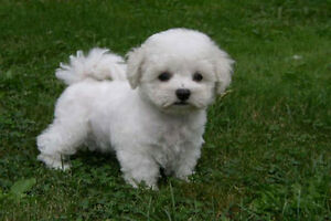 Purebred Bichon Frise puppies (Home raised or Breeder)