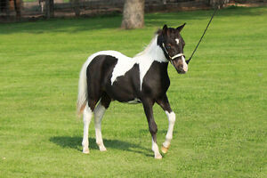 miniature horse - AMHR\AMHA stud colt for sale