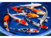 POND FISH FOR SALE *HUGE OFFERS!!* KOI, TENCH, ORFE, GOLDFISH, SHUBUNKINS AND MORE live fish