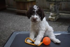 Lagotto Romagnolo Puppies Available