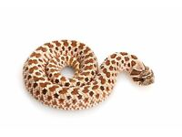 Baby hognose snake for sale