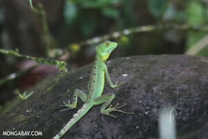 GREEN BASILISKS (JESUS LIZARDS) CHRISTMAS SPECIAL.