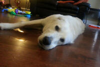 Dash. Seeking Suitable New Home For Lab Cross Pup