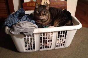 Ginny. Senior, Affectionate, Declawed Cat Must Find New Home