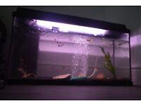 JUWEL Rekord 96 Aquarium Fish Tank With Light Pump & Heater Tropical set up inc approx 20+ Guppies