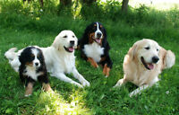 Family for Bernese Mountain pup or Golden Retriever pup