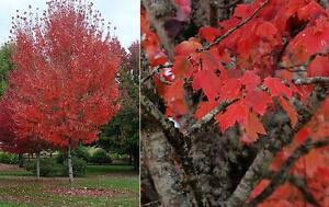 A tree for the future -- Autumn Spire Maple