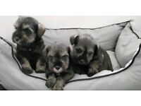 Miniature Schnauzer pups for sale kc Reg