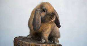 looking for a male holland lop bunny