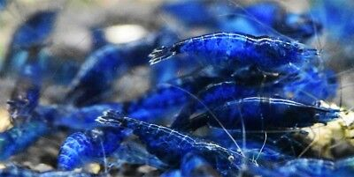 10 Blue Velvet Shrimp Live Freshwater Aquarium - Live Shrimp