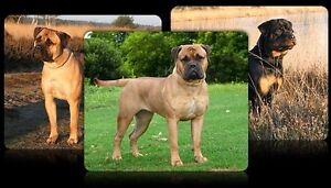 Wanted: Large Breed Dog FREE Epping Whittlesea Area Preview