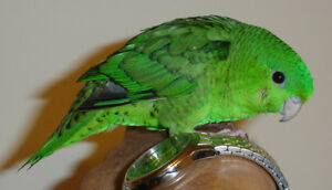 Hand raised friendly Green Linnie babies