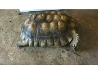 Various tortoises for sale genuine reason