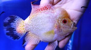 Golden Base Flowerhorn