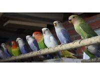 Lovebirds for sale