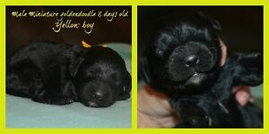 Only 3 mini goldendoodle on 9 left !!
