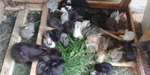 ADORABLE BABY BUNNIES FOR SALE!!
