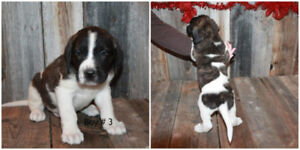 Adorable Lab/St-Bernard Cross Puppies for Sale
