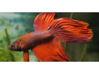 Siamese Fighter Fish Male £3.50 Assorted Colours !