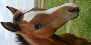 Welsh QH cross filly