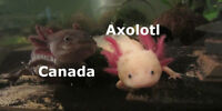 Juvenile axolotls from Canada's largest breeder!