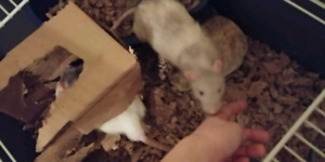 2 young rats + cage & acessories