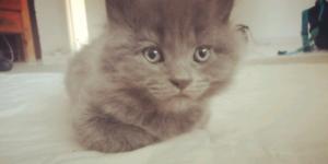 Kitten grey needing loving forever home.