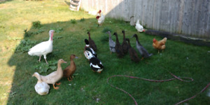 6 runner ducks for sale