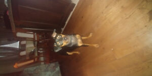 Min pin pup 6 months old for sale