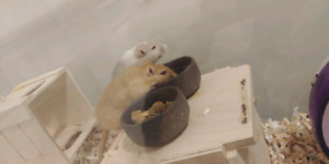 2 brother gerbil need home