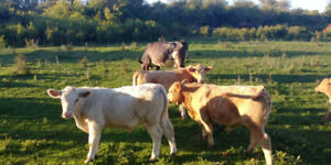 Cattle herd for sale,  10 Bred cows. 2 bulls, 5 stockers