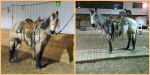 3YEAR OLD WELL STARTED MARE