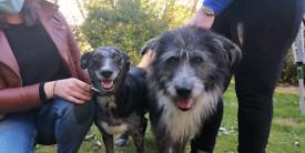 Lurcher Wolfhound X Collie Puppies