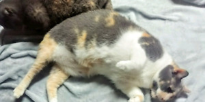 Pair of fixed female cats calicos