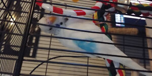 Budgies for rehoming asap