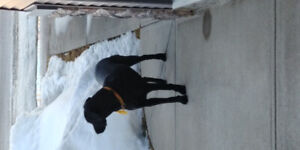 Friendly (seem to be lost) dog seen wandering Chestermere