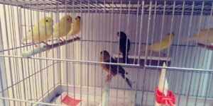 Femelles canaris canaries canary