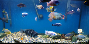 Male adult cichlids for sale, peacocks, haps, mubunas