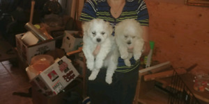 SHIHPOO PUPPIES READY TO GO JUNE 16 2018