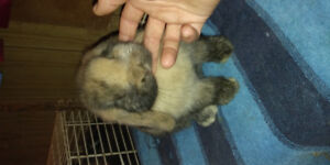 Jr and Sr holland lop Bucks for sale