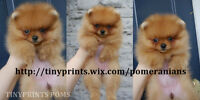 CKC Registered Pomeranian puppies available